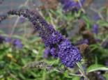 Blütensträucher und Ziergehölze - Sommerflieder / Schmetterlingsstrauch 'Adonis Blue', 30-40 cm, Buddleja davidii 'Adonis Blue', Containerware