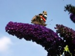Sommerflieder / Schmetterlingsstrauch 'Black Knight', 100-125 cm, Buddleja davidii 'Black Knight', Containerware