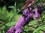 Sommerflieder / Schmetterlingsstrauch 'Border Beauty', 60-100 cm, Buddleja davidii 'Border Beauty', Containerware