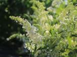 Sommerflieder / Schmetterlingsstrauch 'Dart's Ornamental White', 40-60 cm, Buddleja davidii 'Dart's Ornamental White', Containerware