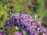 Sommerflieder / Schmetterlingsstrauch 'Dart's Papillon Blue', 60-80 cm, Buddleja davidii 'Dart's Papillon Blue', Containerware