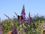 Sommerflieder / Schmetterlingsstrauch 'Empire Blue', 100-125 cm, Buddleja davidii 'Empire Blue', Containerware