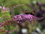 Sommerflieder / Schmetterlingsstrauch 'Fascination', 60-100 cm, Buddleja davidii 'Fascination', Containerware
