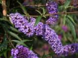 Sommerflieder / Schmetterlingsstrauch 'Nanho Blue', 40-60 cm, Buddleja davidii 'Nanho Blue', Containerware