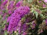 Blütensträucher und Ziergehölze - Sommerflieder / Schmetterlingsstrauch 'Nanho Purple', 40-60 cm, Buddleja davidii 'Nanho Purple', Containerware