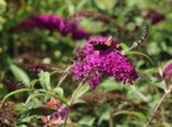 Sommerflieder / Schmetterlingsstrauch 'Royal Red', 60-100 cm, Buddleja davidii 'Royal Red', Containerware