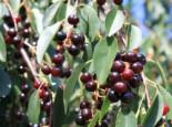Wildbäume u. Wildsträucher - Spätblühende Traubenkirsche, 60-100 cm, Prunus serotina, Wurzelware