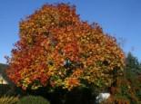 Laubbäume - Spitzahorn, 100-150 cm, Acer platanoides, Wurzelware