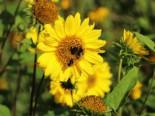 Stauden - Stauden-Sonnenblume 'Capenoch Star', Helianthus decapetalus 'Capenoch Star', Topfballen
