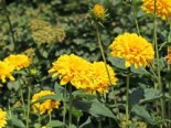 Stauden - Stauden-Sonnenblume 'Loddon Gold', Helianthus decapetalus 'Loddon Gold', Topfballen