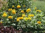 Freiflächen - Stauden-Sonnenblume 'Soleil d'Or', Helianthus decapetalus 'Soleil d'Or', Topfballen