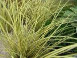 Gräser - Steife Segge 'Aurea', Carex elata 'Aurea', Topfballen