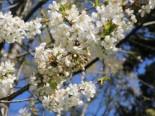 Steinweichsel / Felsenkirsche / Weichselkirsche, 60-100 cm, Prunus mahaleb, Containerware
