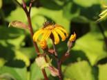 Stern-Goldkolben, Ligularia dentata, Topfware