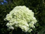 Sternen-Hortensie 'Sternschnuppe' Hydrangea arborescens Hovaria 'Hayes Starburst' / 'Sternschnuppe'