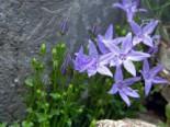Steingarten - Sternförmige Glockenblumen 'Erinus Major', Campanula garganica 'Erinus Major', Topfballen