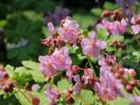 Gehölzrand - Storchschnabel 'Camce', Geranium macrorrhizum 'Camce', Topfballen