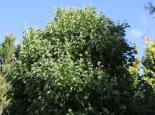 Strauch-Efeu 'Arborescens', 30-40 cm, Hedera helix 'Arborescens', Containerware