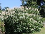 Laubbäume - Strauchkastanie, 40-60 cm, Aesculus parviflora, Containerware