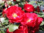 Strauchrose 'Dirigent' ®, Rosa 'Dirigent' ®, Wurzelware