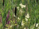 Freiflächen - Sumpf-Mädesüß, Filipendula ulmaria, Topfballen