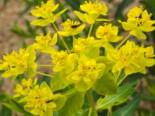Lebensraum Wasser - Sumpf-Wolfsmilch, Euphorbia palustris, Topfballen