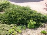 Nadelbäume u. Koniferen - Tafeleibe / Kisseneibe / Bodendeckereibe, 15-25 cm, Taxus baccata 'Repandens', Containerware
