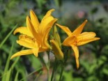 Hemerocallis x cultorum 'Golden Scepter'