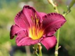 Hemerocallis x cultorum 'Lavender Deal'