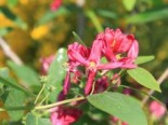Lonicera tatarica 'Hack's Red'