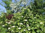 Wildbäume u. Wildsträucher - Tatarischer Hartriegel / Weißer Hartriegel, 60-100 cm, Cornus alba, Containerware