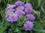 Steingarten - Tauben-Skabiose 'Butterfly Blue', Scabiosa columbaria 'Butterfly Blue', Topfware