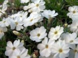 Teppich-Flammenblume 'White Admiral', Phlox douglasii 'White Admiral', Topfware