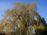 Trauerweide 'Tristis Resistenta', 100-125 cm, Salix alba 'Tristis Resistenta', Containerware