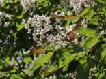 Trompetenbaum Purpurea
