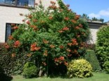 Amerikanische Klettertrompete (rot), 125-150 cm, Campsis radicans (rot), Containerware