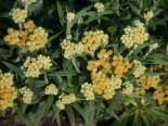 Steingarten - Turkestan Strohblume 'Schwefellicht', Helichrysum thianshanicum 'Schwefellicht', Topfballen