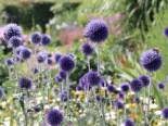 Veitchs-Kugeldistel 'Veitchs Blue', Echinops ritro 'Veitchs Blue', Topfware