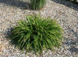 Gräser - Wald Simse, Luzula sylvatica, Topfware