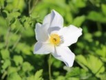 Herbst-Anemone 'White Swan', Anemone japonica 'White Swan', Topfware