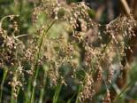 Gräser - Waldmarbel 'Auslese', Luzula sylvatica 'Auslese', Topfware