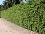 immergrüne Laubbäume - Warzen-Berberitze, 30-40 cm, Berberis verruculosa, Containerware
