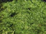 Wasserfeder, Hottonia palustris, Topfware