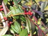 immergrüne Laubbäume - Weidenblättrige Hängemispel, 100-125 cm, Cotoneaster salicifolius floccosus, Containerware