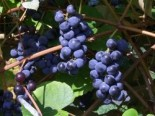 Weintrauben - Weintraube 'Berry Sweet Blue', 80-100 cm, Vitis 'Berry Sweet Blue', Containerware