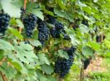 Weintrauben - Weintraube 'Solara', 80-100 cm, Vitis 'Solara', Containerware