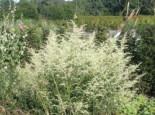 Weißblühender Beifuß 'Elfenbein', Artemisia lactiflora 'Elfenbein', Topfware