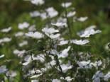 Weißblühender Lein 'Album', Linum perenne 'Album', Topfware