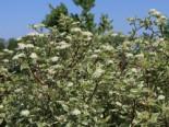Blütensträucher und Ziergehölze - Weißbunter Purpur-Hartriegel, 60-100 cm, Cornus alba 'Sibirica Variegata', Containerware