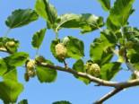 Sonstige Früchte - Weiße Maulbeere, 30-40 cm, Morus alba, Containerware